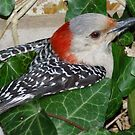 Redbellied Woodpecker in Ivy by Karen Checca