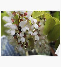 Robinia Flower Poster