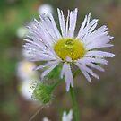 Fleabane-Erigeron philadelphicus by Tracy Wazny