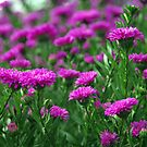 Mums Galore! by DiEtte Henderson