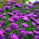 Purple Passion Mums by DiEtte Henderson
