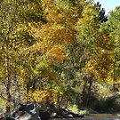 Fall in Colorado by Barb Miller