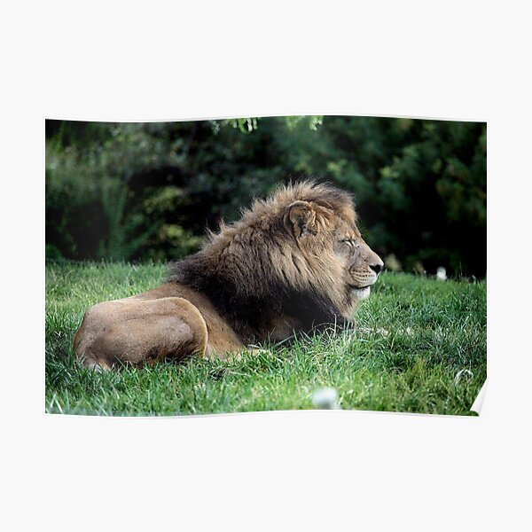Solitary Lion Poster