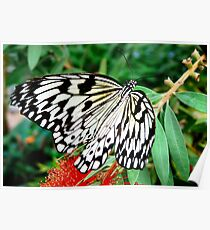 Idea leuconoe,Paper Kite, Rice Paper, or Large Tree Nymph butterfly  Poster