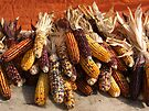 Indian Corn by Stephen D. Miller
