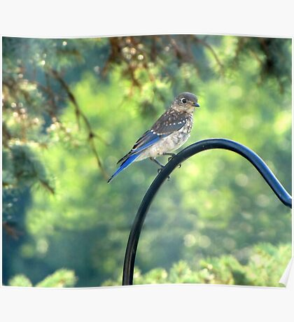 Little Bluebird Poster