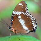 Resting Butterfly , Mission Beach, FNQ by Susan Kelly