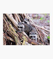 Baby Raccoons Photographic Print