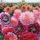 A Deliciousness of Dahlias by jennyjeffries