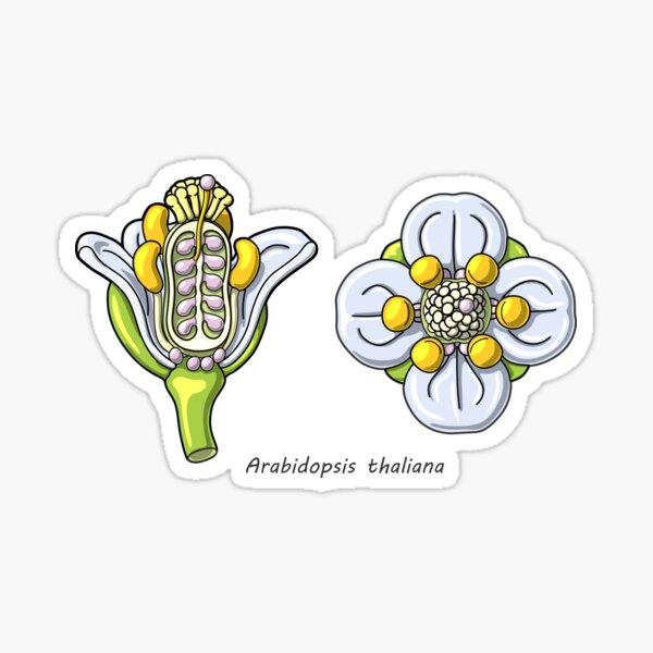 Arabidopsis thaliana Flower Illustration Sticker