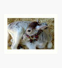 Miniature Zebu Calf Art Print