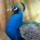 Beautiful Blue - peacock up close by Jenny Dean