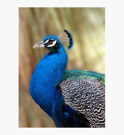 Beautiful Blue - peacock up close Photographic Print