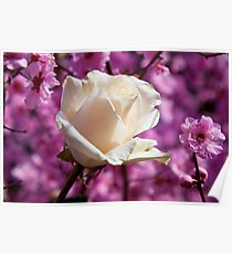 White rose and plum blossoms Poster