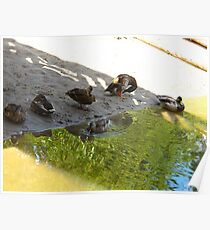 Roosting Poster