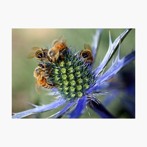 Honey Bees Photographic Print