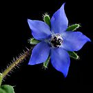 MY BLUE STAR by RoseMarie747