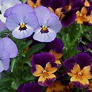 Violas in Autumn by Marjorie Wallace