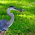 Gotcha - Southwest Blue Heron  by Kim North