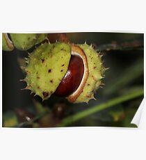 Chestnut Poster