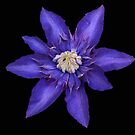 Blue Clematis. by Lee d'Entremont