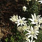 Flannel Flowers by Aakheperure