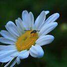 Bug on Daisy by RockyWalley