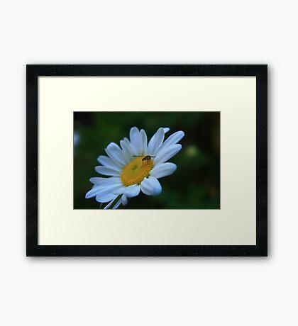 Bug on Daisy Framed Print