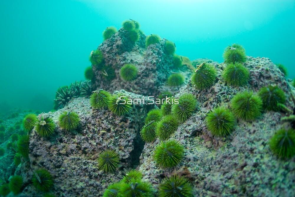 Green Sea Urchin (Lytechinus semituberculatus) on rock, underwater view, Isla San Cristobal, Ecuador, Galapagos Archipelago, by Sami Sarkis