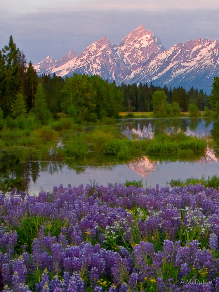 Lupine Explosion in the Tetons (iPhone4 Case) by annruttle