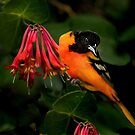 Baltimore Oriole by Janice Carter