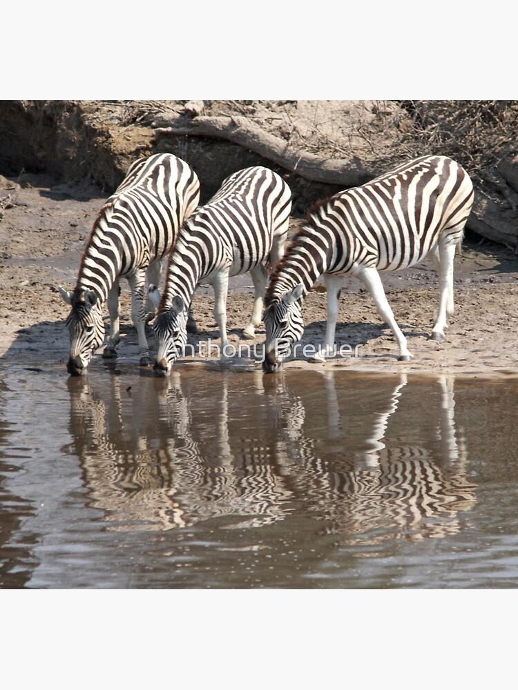 Three zebras by dailyanimals