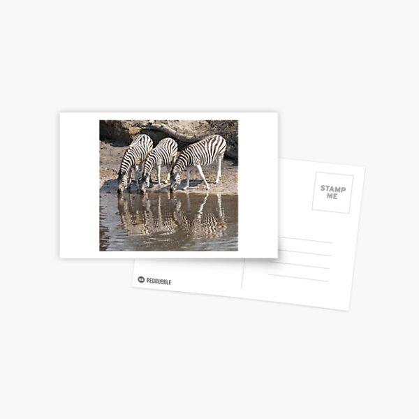 Three zebras Postcard