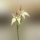 Karri Cowslip Orchid, Caladenia flava susp, sylvestris by JuliaKHarwood