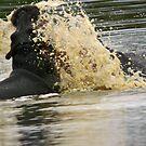 A hippo explosion! by Anthony Goldman