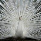 Princess Peacock by byronbackyard