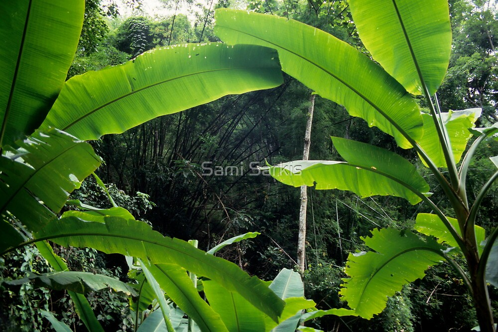 Thailand, banana trees (Musa sp.) in jungle by Sami Sarkis