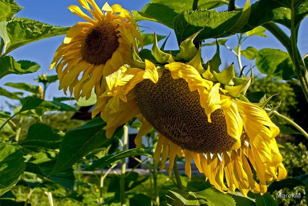 Sunflower II by MarekM