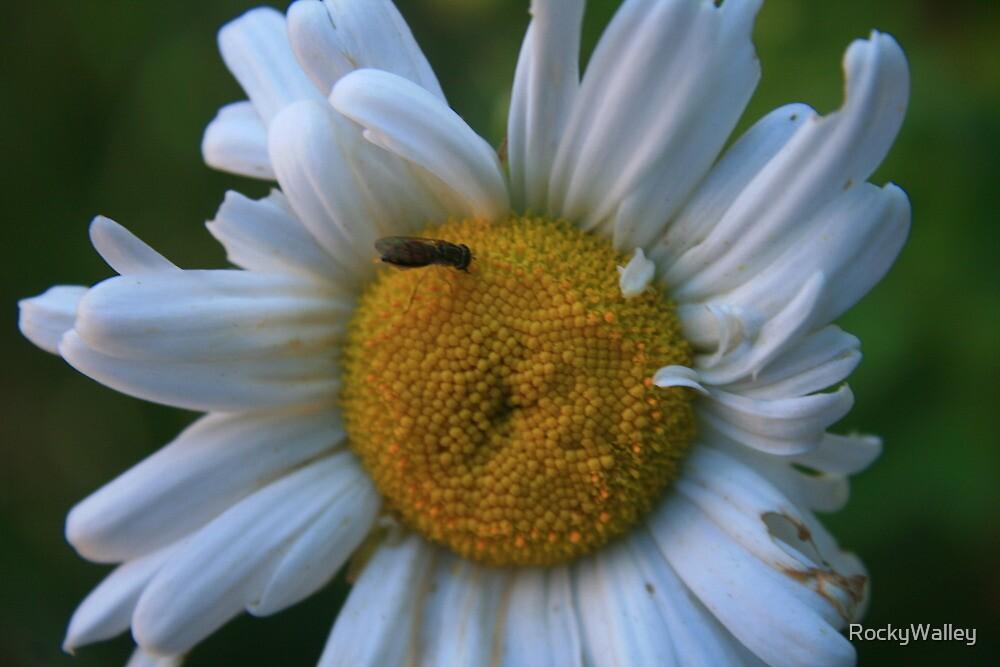 Dazzed Daisy by RockyWalley