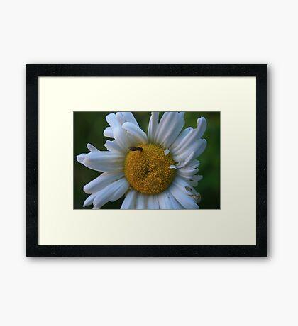 Dazzed Daisy Framed Print