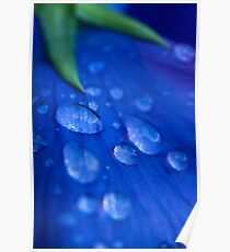 Raindrop Pansy Poster