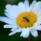 Tasty Daisy by RockyWalley