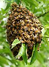 SWARM OF HONEY BEES I RESCUED by Betsy  Seeton