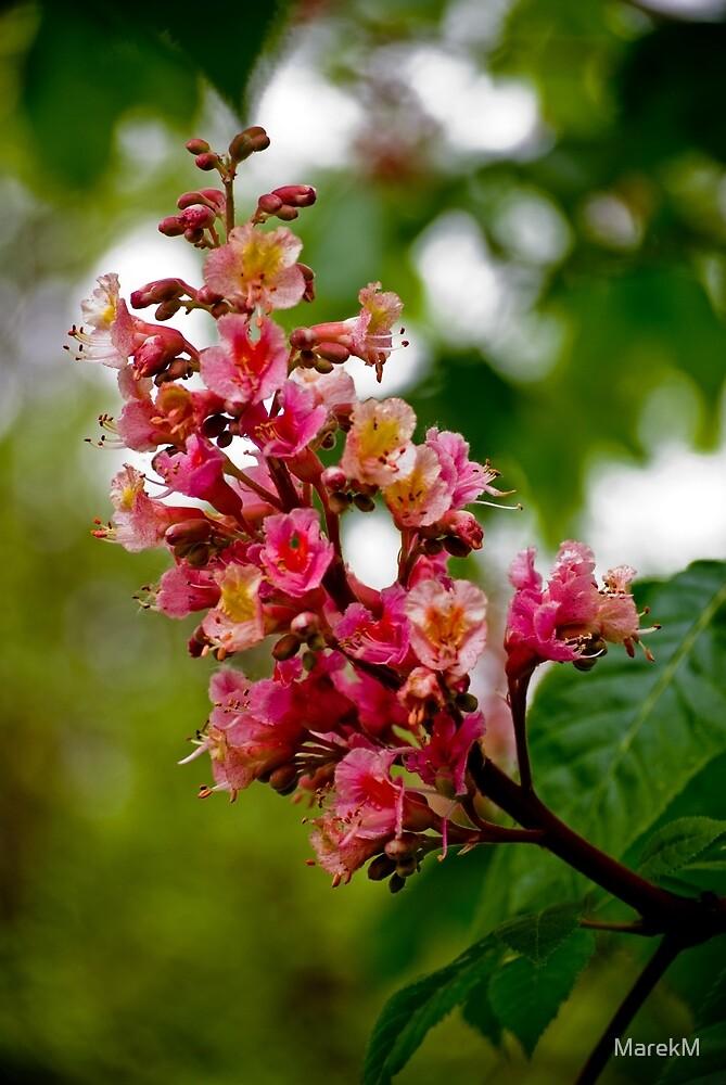 Aesculus  (flower)  / Kwiat kasztanowca by MarekM