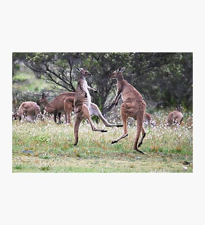 Kangaroos tail standing Photographic Print