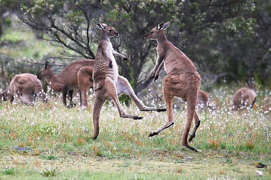 Kangaroos tail standing by Ian Berry