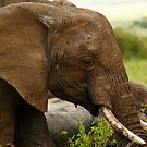 African Elephant by evilcat