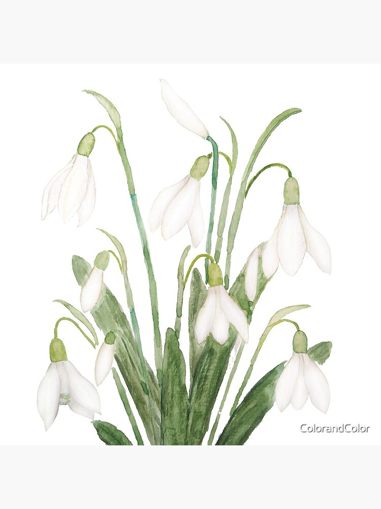 white snowdrop flower botanical watercolor painting  by ColorandColor