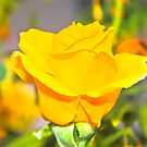 Colorful Rose by George Limitsios
