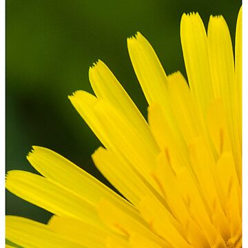 iPhone Case - Dandelion Beauty by orlaphoto